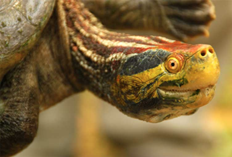 The Red-crowned Roof turtle (Batagur kachuga). Photo courtesy of the Turtle Survival Alliance