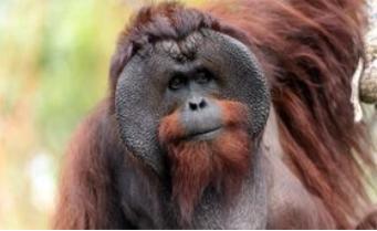 OrangutanInfo