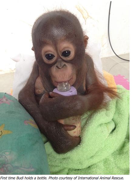 Orphaned Orangutan1