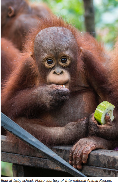 Orphaned Orangutan2