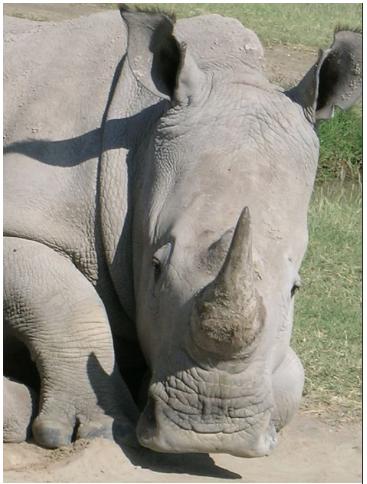 Rhinoposching