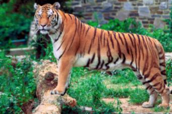 TigerInfo