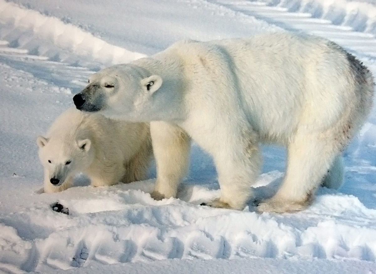 Polar bear mother_with_cub Brocken Inaglory