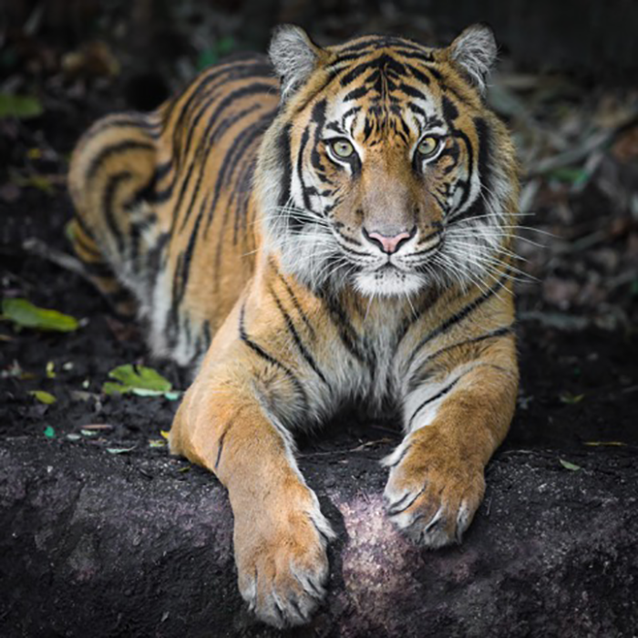 Sumatran Tiger By Nichollas Harrison [CC BY-SA 3.0 (https://creativecommons.org/licenses/by-sa/3.0)], via Wikimedia Commons