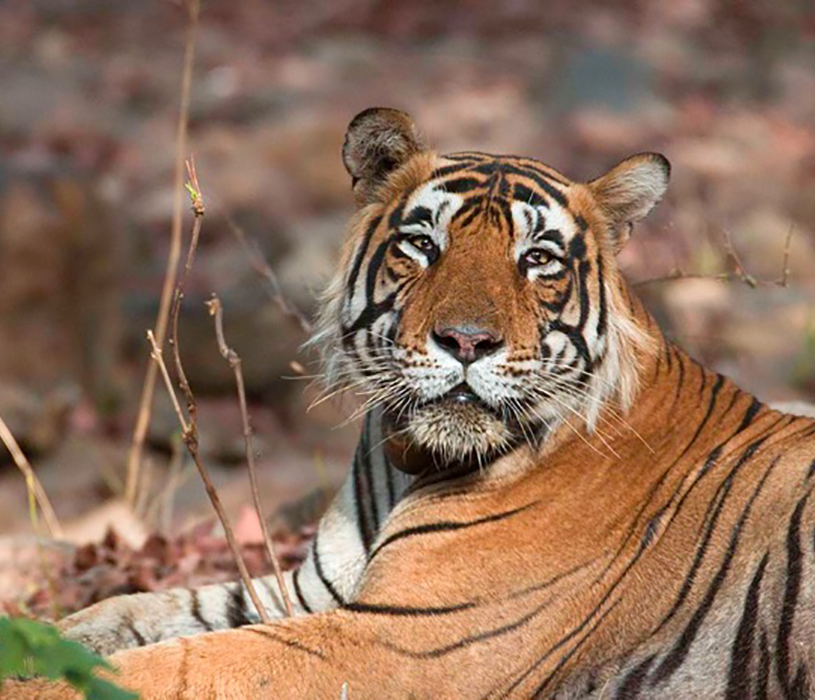 Male tiger in Ranthambhore Tiger Reserve, India  By Koshy Koshy (Flickr: Male Tiger Ranthambhore) [CC BY 2.0 (http://creativecommons.org/licenses/by/2.0)], via Wikimedia Commons